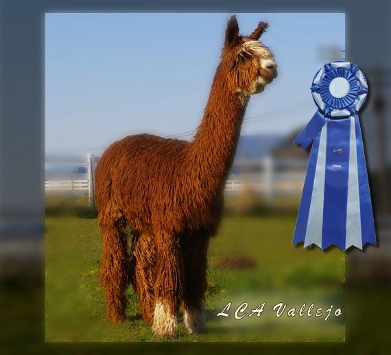 Alpaca show winning herdsire